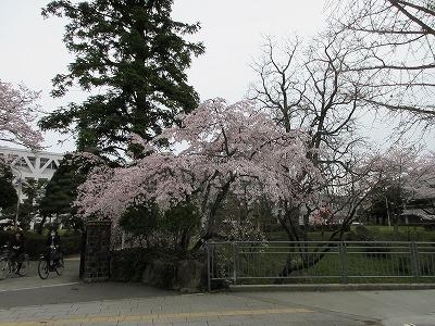 29入学桜